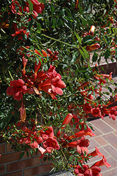 Flamenco Trumpetvine (Campsis radicans 'Flamenco') at Paterno Nurseries