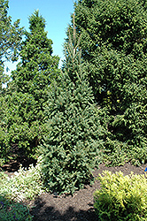 Columnar Norway Spruce (Picea abies 'Cupressina') at Paterno Nurseries