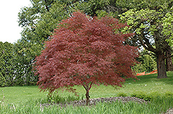 Dwarf Red Pygmy Japanese Maple (Acer palmatum 'Red Pygmy') at Paterno Nurseries