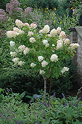 Limelight Hydrangea (tree form) (Hydrangea paniculata 'Limelight (tree form)') at Paterno Nurseries