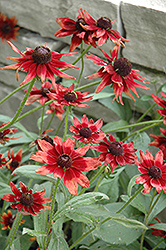 Cherry Brandy Coneflower (Rudbeckia hirta 'Cherry Brandy') at Paterno Nurseries