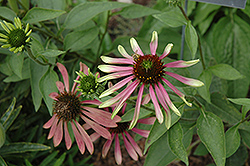 Green Envy Coneflower (Echinacea purpurea 'Green Envy') at Paterno Nurseries