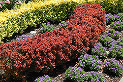 Royal Burgundy Japanese Barberry (Berberis thunbergii 'Gentry') at Paterno Nurseries