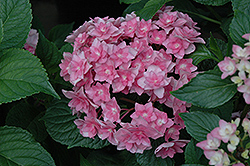 Expression Hydrangea (Hydrangea macrophylla 'Rie 06') at Paterno Nurseries