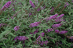 Flutterby Petite® Dark Pink Butterfly Bush (Buddleia davidii 'Podaras 10') at Paterno Nurseries