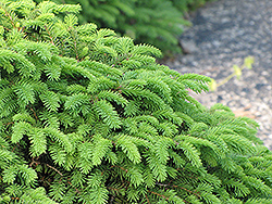 Birds Nest Spruce (Picea abies 'Nidiformis') at Paterno Nurseries