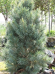 Vanderwolf's Pyramid Pine (Pinus flexilis 'Vanderwolf's Pyramid') at Paterno Nurseries