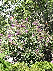 Pink Delight Butterfly Bush (Buddleia davidii 'Pink Delight') at Paterno Nurseries