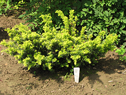 Golden Japanese Yew (Taxus cuspidata 'Aurescens') at Paterno Nurseries