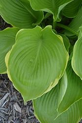 Winter Snow Hosta (Hosta 'Winter Snow') at Paterno Nurseries