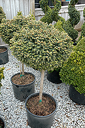Little Gem Spruce (tree form) (Picea abies 'Little Gem (tree form)') at Paterno Nurseries