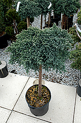 Blue Star Juniper (Juniperus squamata 'Blue Star (tree form)') at Paterno Nurseries