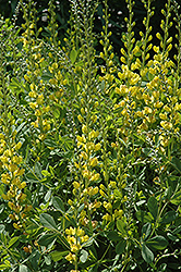 Solar Flare Prairieblues False Indigo (Baptisia 'Solar Flare Prairieblues') at Paterno Nurseries