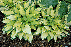 Orange Marmalade Ball Hosta (Hosta 'Orange Marmalade') at Paterno Nurseries