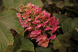 Ruby Slippers Hydrangea (Hydrangea quercifolia 'Ruby Slippers') at Paterno Nurseries