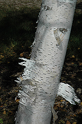 Paper Birch (Betula papyrifera) at Paterno Nurseries