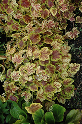 Solar Eclipse Foamy Bells (Heucherella 'Solar Eclipse') at Paterno Nurseries