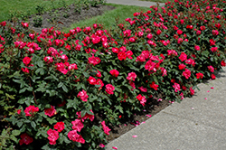 Knock Out® Rose (Rosa 'Radrazz') at Paterno Nurseries