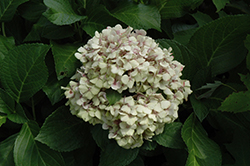 Wedding Ring Hydrangea (Hydrangea macrophylla 'Fanfare') at Paterno Nurseries