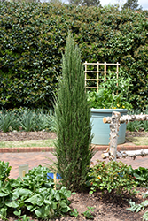 Blue Arrow Juniper (Juniperus scopulorum 'Blue Arrow') at Paterno Nurseries