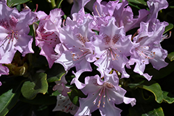 Pohjola's Daughter Rhododendron (Rhododendron 'Pohjola's Daughter') at Paterno Nurseries