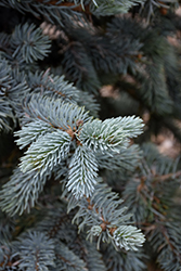 Hoopsii Blue Spruce (Picea pungens 'Hoopsii') at Paterno Nurseries