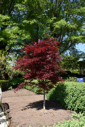 Fireglow Japanese Maple (Acer palmatum 'Fireglow') at Paterno Nurseries
