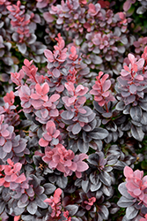 Concorde Japanese Barberry (Berberis thunbergii 'Concorde') at Paterno Nurseries
