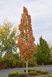 Armstrong Maple (Acer x freemanii 'Armstrong') at Paterno Nurseries