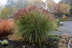 Morning Light Maiden Grass (Miscanthus sinensis 'Morning Light') at Paterno Nurseries