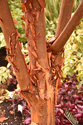 Paperbark Maple (Acer griseum) at Paterno Nurseries