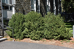 Green Mountain Boxwood (Buxus 'Green Mountain') at Paterno Nurseries