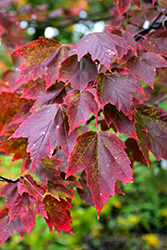 Red Sunset Red Maple (Acer rubrum 'Red Sunset') at Paterno Nurseries