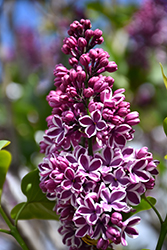 Sensation Lilac (Syringa vulgaris 'Sensation') at Paterno Nurseries