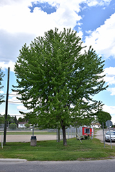 Silver Maple (Acer saccharinum) at Paterno Nurseries