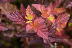 Center Glow Ninebark (Physocarpus opulifolius 'Center Glow') at Paterno Nurseries