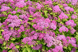 Magic Carpet Spirea (Spiraea x bumalda 'Magic Carpet') at Paterno Nurseries