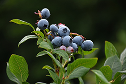 Northland Blueberry (Vaccinium corymbosum 'Northland') at Paterno Nurseries