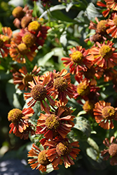 Ruby Tuesday Sneezeweed (Helenium 'Ruby Tuesday') at Paterno Nurseries