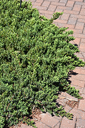 Blue Pacific Shore Juniper (Juniperus conferta 'Blue Pacific') at Paterno Nurseries
