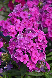 Purple Flame Garden Phlox (Phlox paniculata 'Purple Flame') at Paterno Nurseries