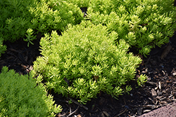 Lemon Coral Stonecrop (Sedum rupestre 'Lemon Coral') at Paterno Nurseries